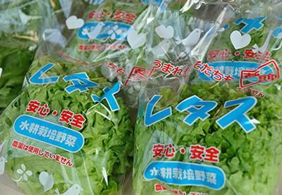 新鮮で、安心・安全なLED水耕栽培のレタス