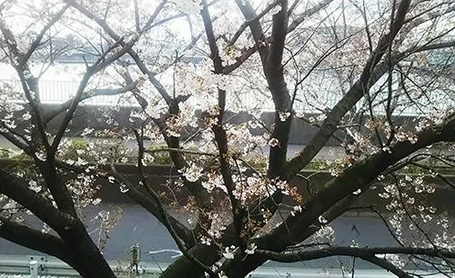 立石工場の桜