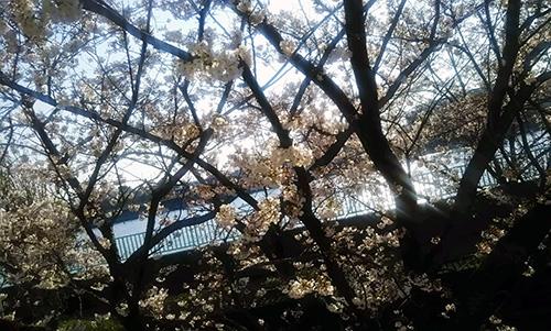 立石の桜2